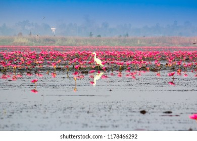 """Scenic view nature Landscape  """"Red Lotus Sea""""  It is covered with soft light in morning and mist blurred background in the cold day winter season, Thailand, lotus, red lotus sea, Udon Thani"""