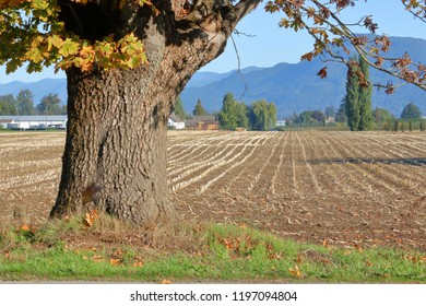 Scenic view of an old, established Oak tree during the autumn season on the edge of agricultural farm land in a  valley.