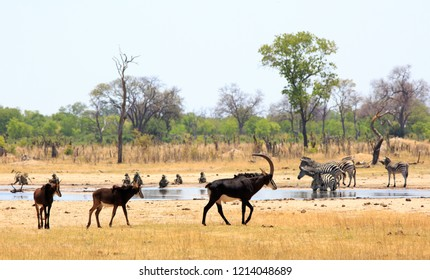 scenic view overlooking a vibrant waterhole in Hwange National Park with Sable Antelopes, Zebras and Chacma Baboons.  There is a natural bushveld and tree lined background against a pale blue sky