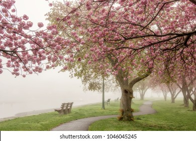Scenic view of Pink Cherry Blossoms on a Foggy Day