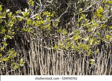 Scenic view of rare Avicennia marina,  known as grey  or white mangrove,  growing in the Leschenault Estuary  mangrove reserve  in Bunbury Western Australia on a  sunny morning in early spring.