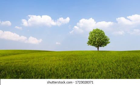 Scenic view of Rice field green grass with solitary tree and a cloudy blue sky background