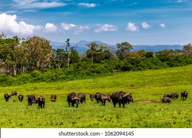 Scenic view of small herd of Cape Buffalo grazing within the lush green landscape of the mountainous Aberdare Ranges. They are moving slowly toward a swampy waterhole.