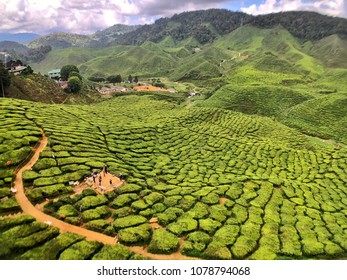 Scenic view of a tea plantation