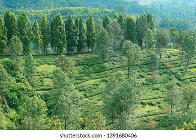 scenic view of tea plantations among trees at Puncak, west java Indonesia
