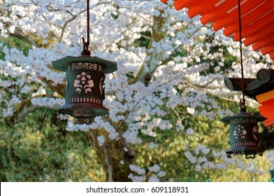 Scenic view of traditional Japanese lanterns hung under wooden eaves & a flourishing Sakura cherry blossom tree blooming by the bright red architecture ~a corner in Heian Jingu (Shrine) in Kyoto Japan