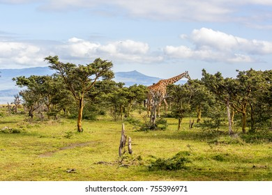 Scenic view of vegetation growing in wildlife sanctuary on Crescent Island, Lake Naivasha, Kenya. An adult Massai Giraffe is feeding amongst a clump of fever trees. West side of lake in the distance.