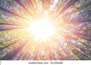 scenic view of very big and tall tree in the forest in the morning with sun beam. -looking up.