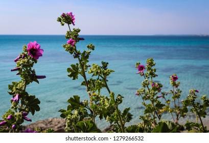 Scenic view of wild mallow plant (Malva Sylvestris) with a beautiful blue sea on background. Taranto; Puglia; Italy