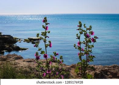 Scenic view of wild mallow plant (Malva Sylvestris) on a cliff with a beautiful blue sea on background. Taranto; Puglia; Italy