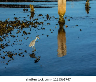 Scenic view of a  yellow crowned night heron feeding in an oyster bed in the St. Lucie River in Stuart, Florida.