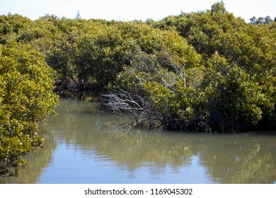 Scenic views of rare Avicennia marina,  known as grey  or white mangrove,  growing in the Leschenault Estuary  mangrove reserve  in Bunbury ,Western Australia on a  sunny morning in late winter.