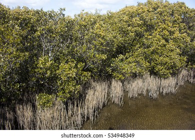 Scenic views of rare Avicennia marina,  known as grey  or white mangrove,  growing in the Leschenault Estuary  mangrove reserve  in Bunbury ,Western Australia on a  sunny morning in late autumn.