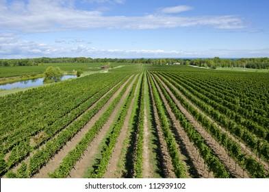 Scenic Vineyard Near Lake Ontario