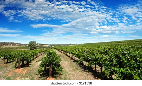 Scenic Vineyard on a summers day in the Barossa Valley