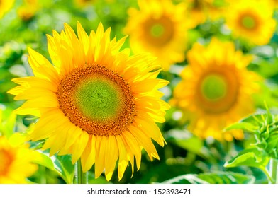 scenic wallpaper with a close-up of sunflower against green background with flowers