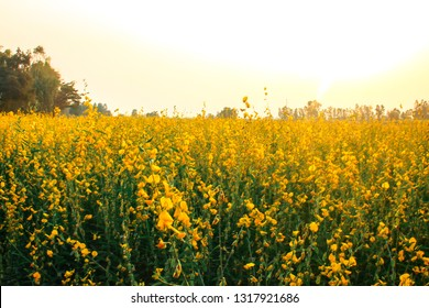 Scenicview Landscape of yellow Sunn Hemp (Crotalaria juncea, Leguminosae) field or Madras hemp or Chanvre indien, it is grown to improve the soil with sun light and golden sky background in Thailand.