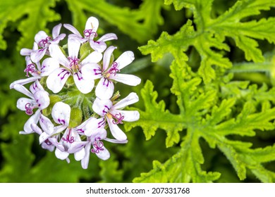 Scented Leaved Pelargonium