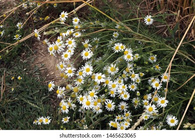 Scented Mayweed growing at the edge of a field of wheat