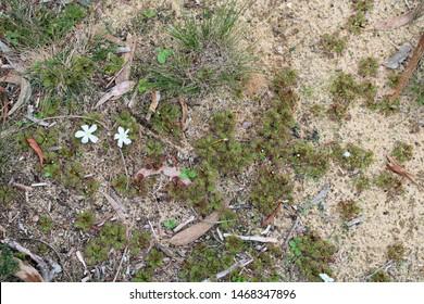 Scented Sundew (Drosera aberrans) carnivorous plant, South Australia