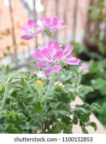 Scented-leaved pelargonium capitatum Attar of roses with pink flowers, rose-scented perfume pelargonium