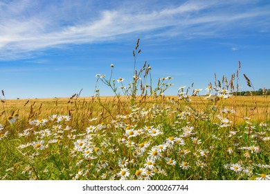Scentless Mayweed flowers at a cornfield in a rural landscape view
