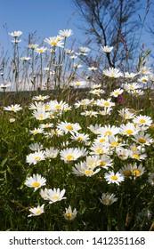 Scentless Mayweed - Tripleurospermum indorum growing in bank at side of field