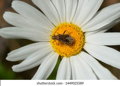A Scentless Plant Bug is resting on an On-eye Daisy flower. Carden Alvar Provincial Park, Kawartha Lakes, Ontario, Canada.