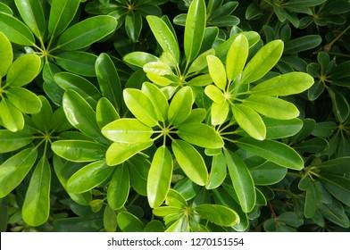 Schefflera arboricola green foliage plant background