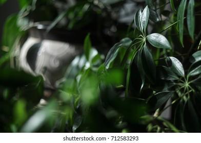Schefflera Arboricola house plant - Shutterstock ID 712583293