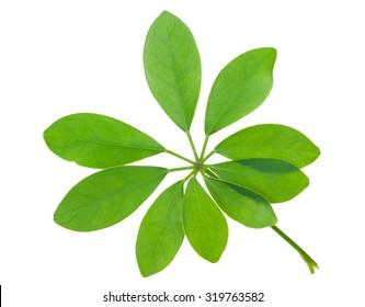 Schefflera arboricola leaf