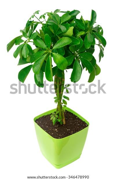 Schefflera arboricola in a pot isolated on white background