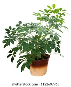 Schefflera, umbrella tree in pot on white background. Homeplant isolated.