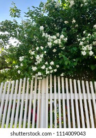 Schersmin, Philadelphus coronarius, with lovely white flowers richly blooming behind a wooden fence in early summertime.