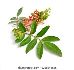 Schinus terebinthifolia or Brazilian peppertree, aroeira or rose pepper, broadleaved pepper tree, wilelaiki or wililaiki, Christmasberry and Florida Holly isolated