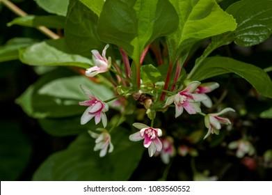 Schisandra Berries (Schisandra chinensis) in garden, Moscow region, Russia