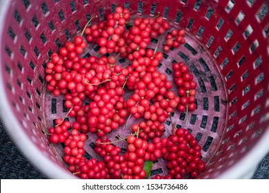 Schisandra chinensis or five-flavor berry. Fresh red ripe berries