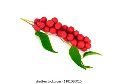 Schisandra Chinensis Medicinal Herb Plant Leaves and Fruit. Isolated on White Background. Also Magnolia-Vine, Chinese Magnolia-Vine, Schisandra, Magnolia Berry or Five-Flavor-Fruit.