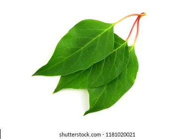 Schisandra Chinensis Medicinal Herb Plant Leaves. Isolated on White Background. Also Magnolia-Vine, Chinese Magnolia-Vine, Schisandra, Magnolia Berry or Five-Flavor-Fruit.