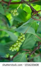 Schisandra chinensis vine with fruits