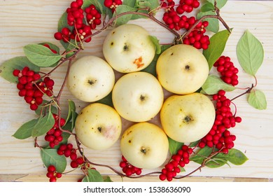 Schisandra and white apples. Still life with clusters of ripe schizandra and white apples. Harvest with red schisandra chinensis plants with ripe fruits and apples. Schizandra omija of Korea