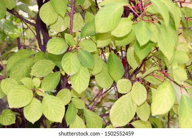 Schizandra branches on liana. Green leaves of schisandra on branches. Schisandra thickets without fruits