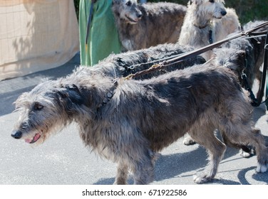 Schleswig Holstein, Germany, June 17, 2017: Irish wolfhound on a medieval market at a medieval market in Schalkholz - Schleswig Holstein on June 17th, 2017