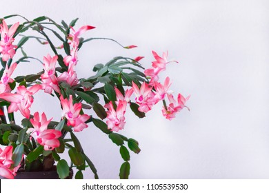 Schlumbergera truncata - Flower of May known in North America as Christmas cactus