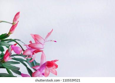 Schlumbergera Truncata popular Flower of May or Christmas cactus