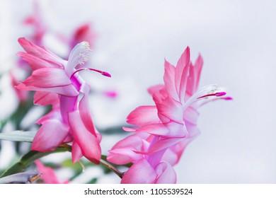 Schlumbergera truncata popular Flower of May , Christmas cactus - exotic