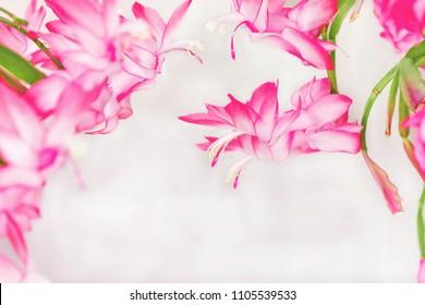 Schlumbergera Truncata popular Flower of May or Christmas cactus - Card