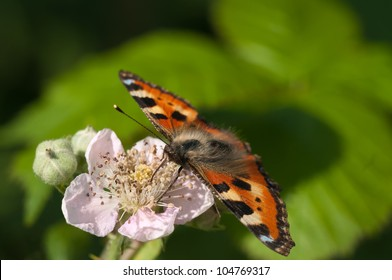Schmetterling aud Brombeerbl�¼te
