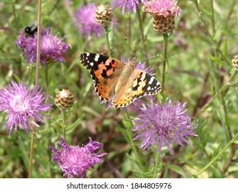 Schmetterling sitzt auf lila Kornblume