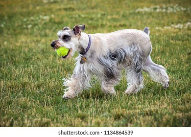 A schnauzer with a ball in a park in north Idaho.